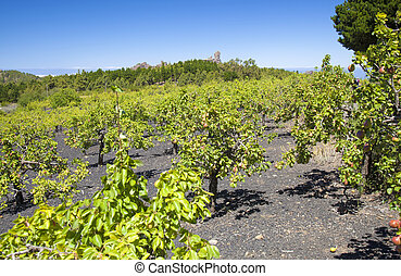 Gran Canaria, June, orchards of small pear trees in Las...