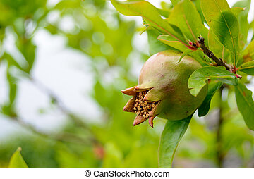 Green Pomegranate Fruit on Tree Branch