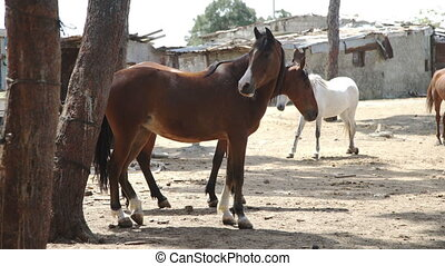 Brown Horses standing against background of houses - Brown...