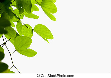 backlight leaves with isolated background