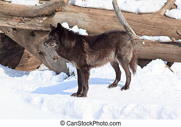 Black canadian wolf on a morning walk. Animals in wildlife.