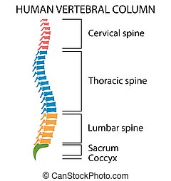 Diagram of a human spine. - Diagram of a human spine with...