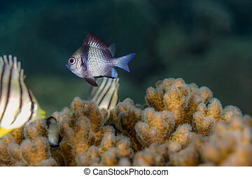 Two Stripe Damselfish (Dascyllus reticulatus) Fish in the...