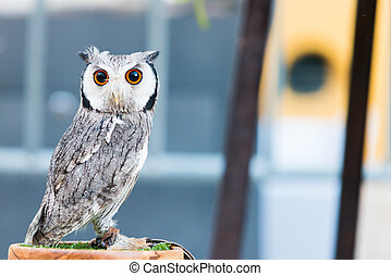 Spotted Owl - young Spotted Owl with copy space for text