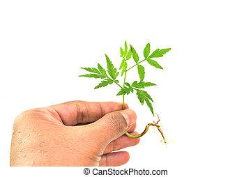 pequeno, árvore, isolado, segurando, mão