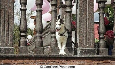 Husky puppy at the door