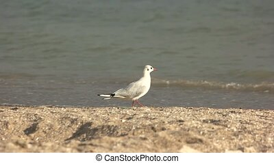 Seagull walking on the shore. Bird near the sea.