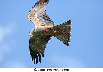 Red Kite (Milvus milvus) bird of prey in flight. Flying...