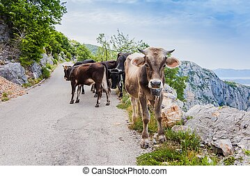 Funny cows on narrow mountain road. Road to sveti Jure...