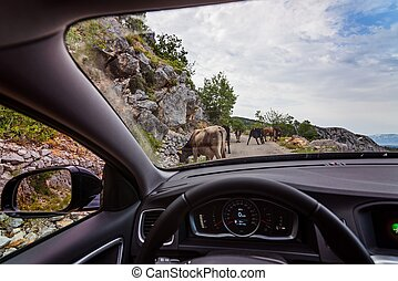 Cows blocking narrow mountain road. Road to sveti Jure...