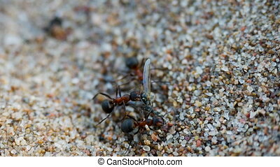two ants dragging prey food of a mosquito on the sand