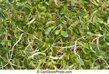 Eating Healthy Alfalfa Sprouts - Eating Alfalfa Sprouts is a...