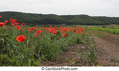 Poppy flowers against the blue sky / summer meadow pasture