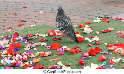 Doves of peace walking on scattered rose petals - Wedding....