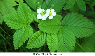 Flower and strawberry leaf - Wild strawberry blossoming -...