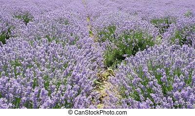fields of blooming lavender flowers, 4k video