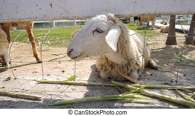 Sheep eating grass through a fence in a farm
