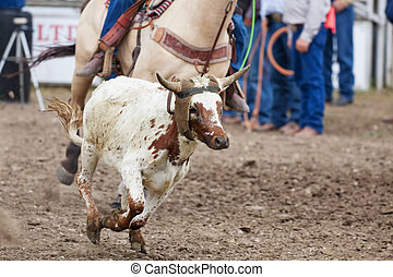 Calf Roping - A calf runs, while a cowboy tries to rope him...