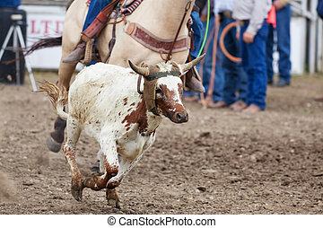 Calf Roping - A calf runs, while a cowboy tries to rope him...