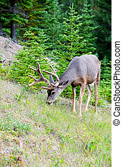 White Tail Deer In Banff