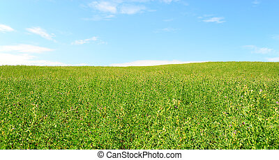 Pasture - Green Clover In The Pasture Against The Blue Sky