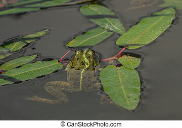 Frog in the water between leaves