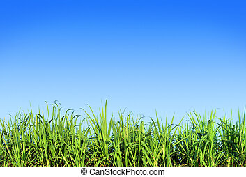 green grass and blue sky - Green sugar cane leaves against...