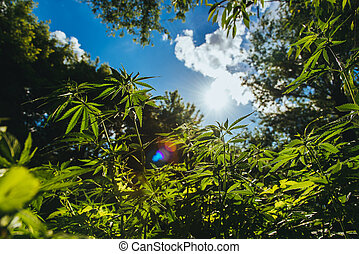Wild agricultural hemp grows in the countryside - Fresh...