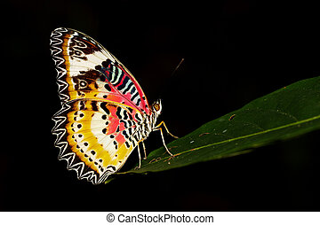 Image of a Plain Tiger Butterfly on black background. Insect...