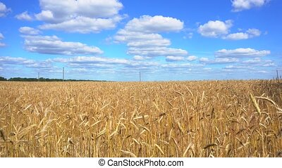 golden wheat field, sunny day and clouns