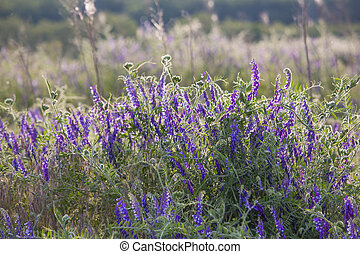 vetches (Vicia sativa) - Wild flowers of meadow - vetches