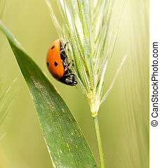 ladybird on nature. macro