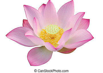 Majestic Lotus flower isolated on white background