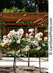 Trimmed rose tree - Pruned rose trees in front of a porch...