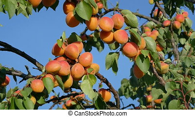 Apricot fruit at tree branch in orchard with blue sky in...