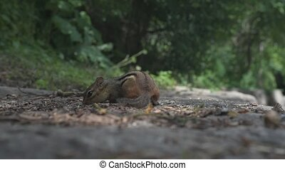 Chipmunk searching and eating seeds in park. - Chipmunk...