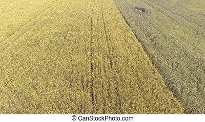 AERIAL: flight over wheat field in afternoon sun
