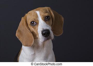 Young beagle portrait.