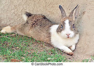 Cottontail bunny rabbit on animal farm - French Lop rabbit...