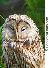 Tawny Owl macro - Gray or Common Owl. Closeup portrait of a...