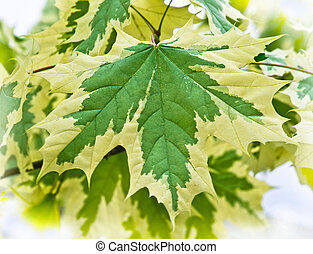 Acer Variegata - the selection Maple leaves