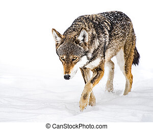 Red Wolf in Snow XII - Red Wolf Walking in Snow