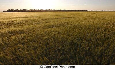 Impressive aerial shot of an ears of wheat in the sunset