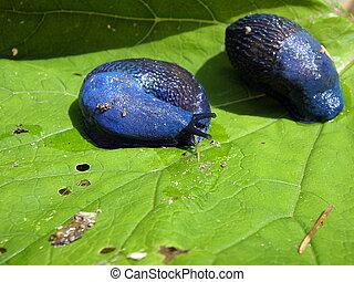 Blue slug , (Bielzia coerulans),