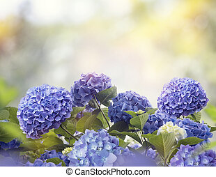blue hydrangea flowers in the garden
