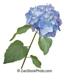 hydrangea flower watercolor - blue hydrangea flower...