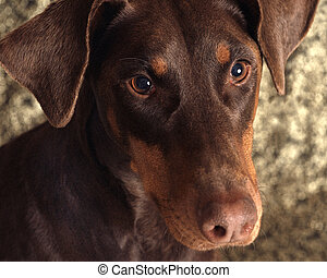 Doberman with Unclipped Ears - Brown doberman with unclipped...