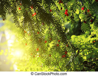 Red berries growing on evergreen yew tree in sunlight,...