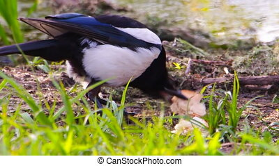 Magpie grabs bread and runs away
