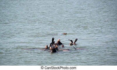 Sea Lions Swimming - Sea lions swimming in the Columbia...
